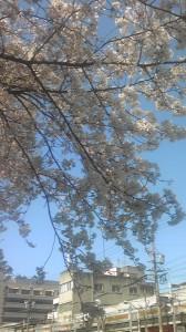 熱田神宮周辺の満開の桜です