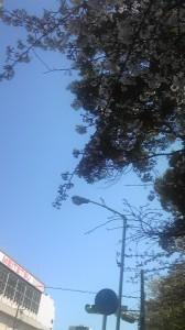熱田神宮周辺の蕾が残る桜です