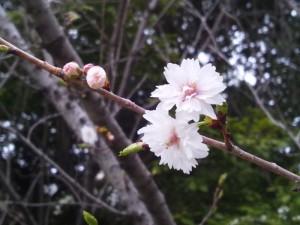 熱田神宮のシキザクラ